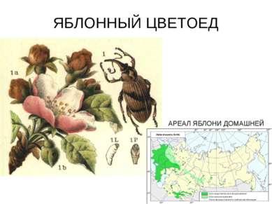 ЯБЛОННЫЙ ЦВЕТОЕД АРЕАЛ ЯБЛОНИ ДОМАШНЕЙ