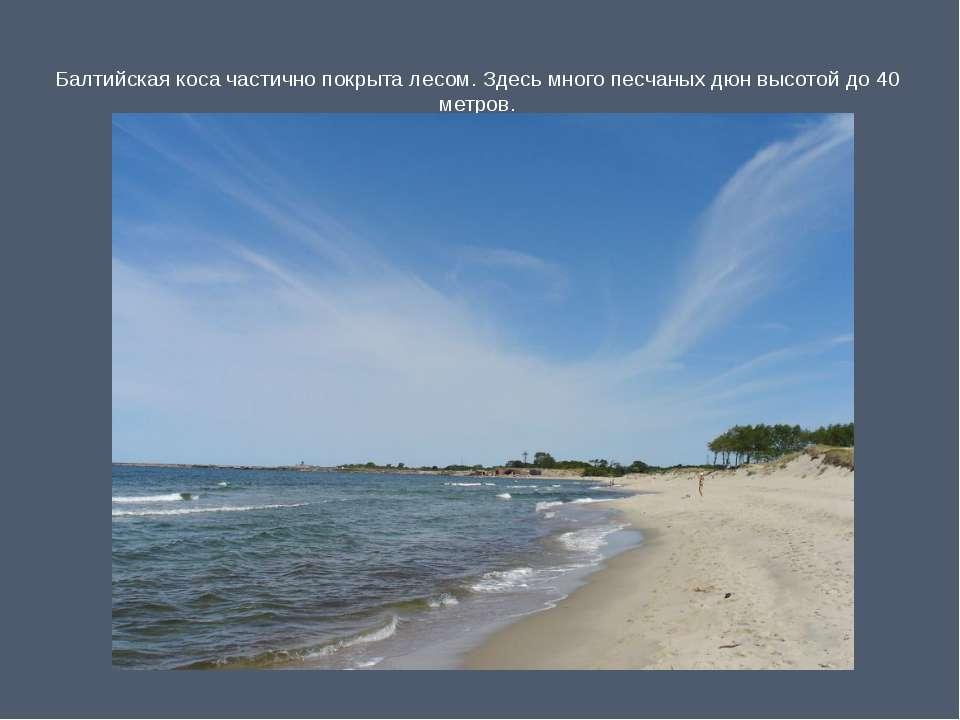 Балтийская коса частично покрыта лесом. Здесь много песчаных дюн высотой до 4...