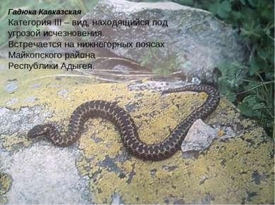Гадюка Кавказская Категория III – вид, находящийся под угрозой исчезновения. ...