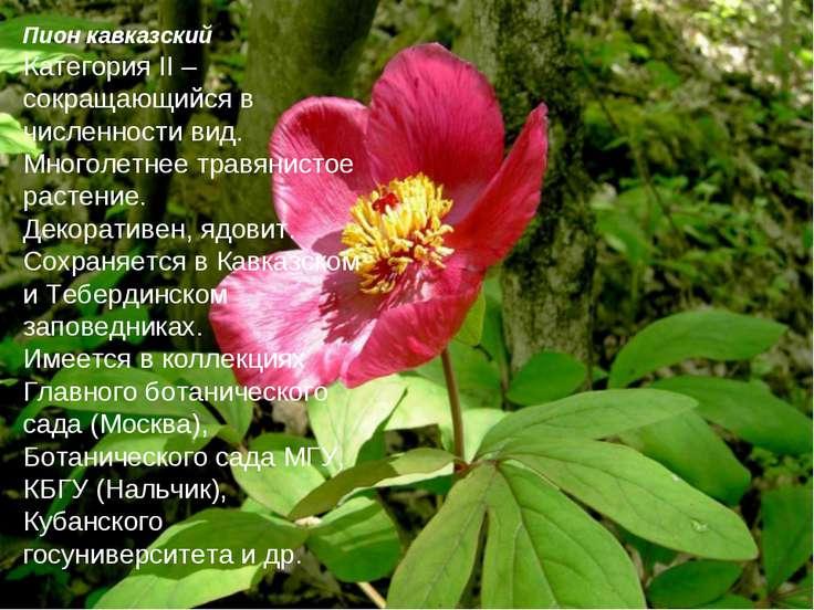 Пион кавказский Категория II – сокращающийся в численности вид. Многолетнее т...