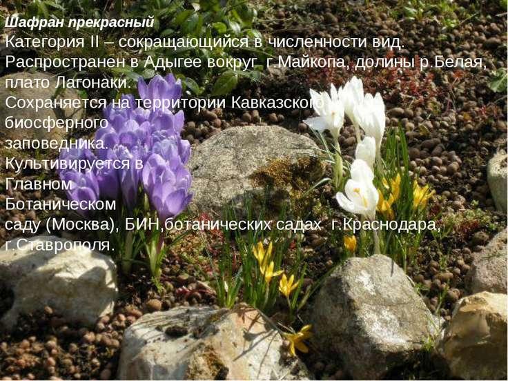 Шафран прекрасный Категория II – сокращающийся в численности вид. Распростран...