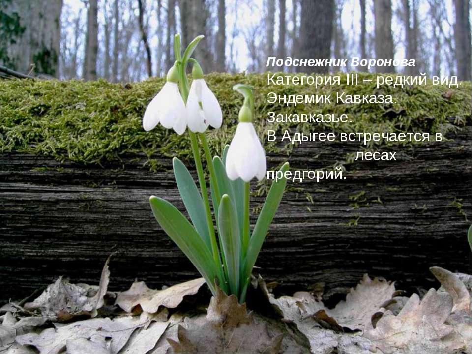 Подснежник Воронова Категория III – редкий вид. Эндемик Кавказа. Закавказье. ...