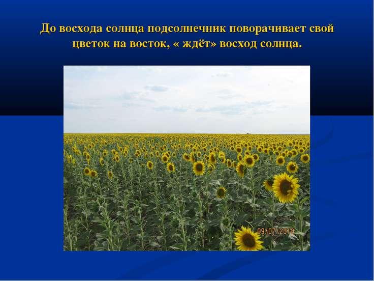 До восхода солнца подсолнечник поворачивает свой цветок на восток, « ждёт» во...