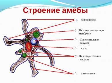 Строение амёбы ложноножки Цитоплазматическая мембрана Сократительная вакуоль ...