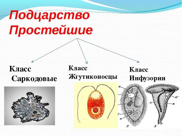 Подцарство Простейшие Класс Саркодовые Класс Жгутиконосцы Класс Инфузории