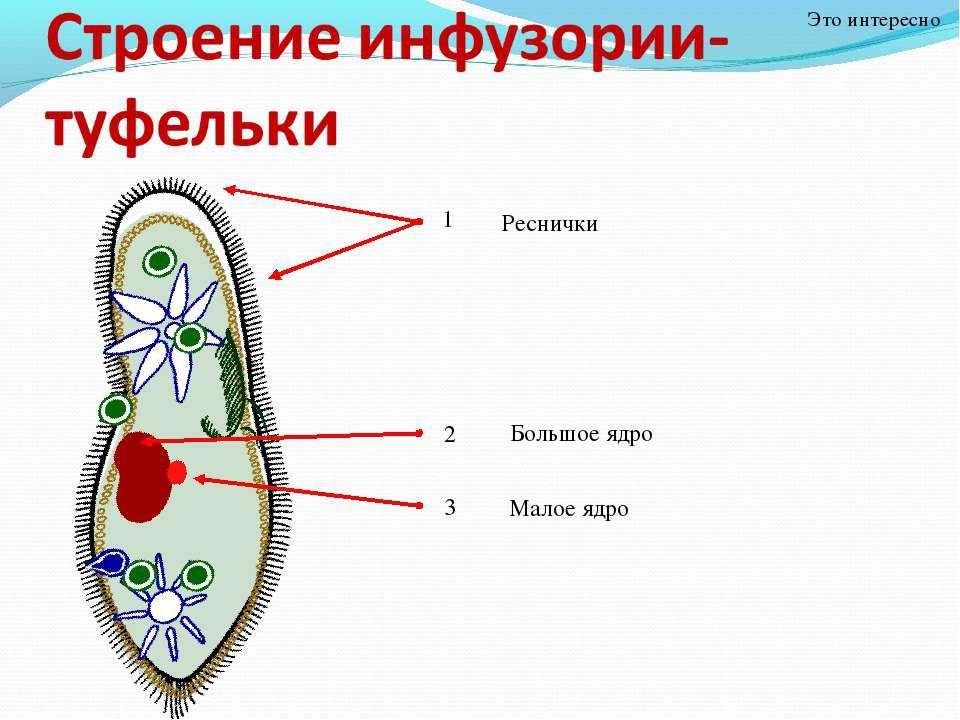Это интересно Реснички Большое ядро Малое ядро