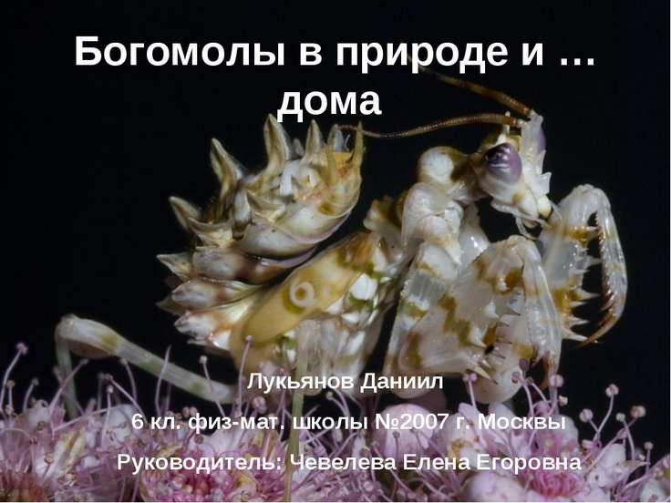 Богомолы в природе и … дома Лукьянов Даниил 6 кл. физ-мат. школы №2007 г. Мос...