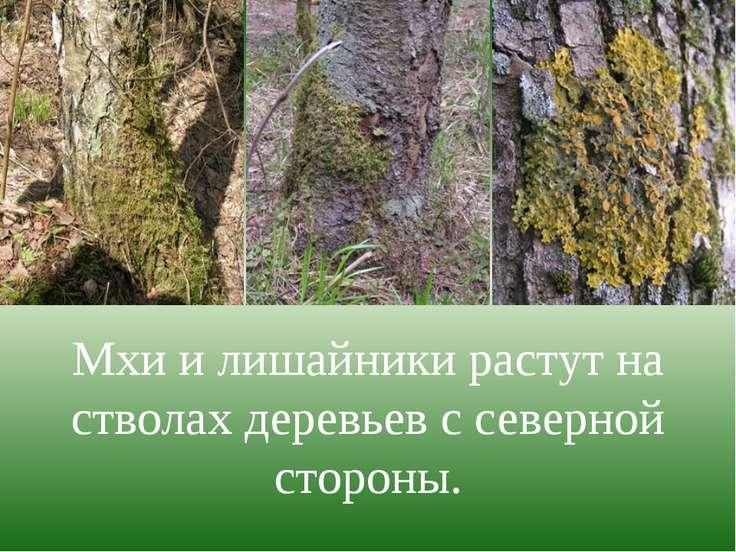 Мхи и лишайники растут на стволах деревьев с северной стороны.