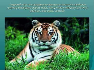Амурский тигр по современным данным относится к наиболее крупным подвидам, ше...