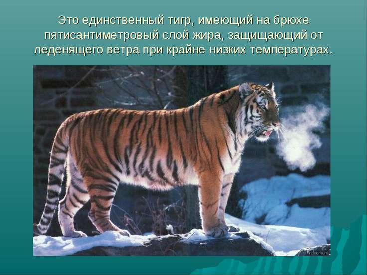 Это единственный тигр, имеющий на брюхе пятисантиметровый слой жира, защищающ...