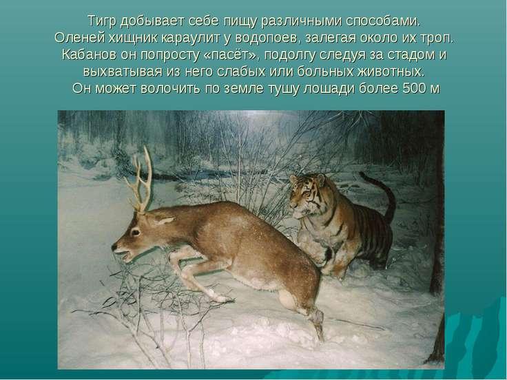Тигр добывает себе пищу различными способами. Оленей хищник караулит у водопо...