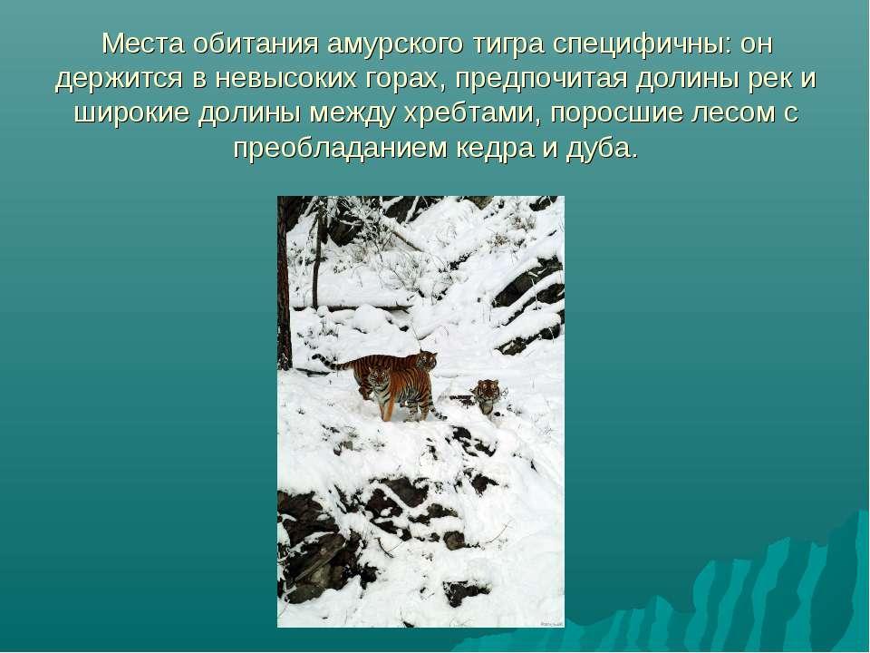 Места обитания амурского тигра специфичны: он держится в невысоких горах, пре...
