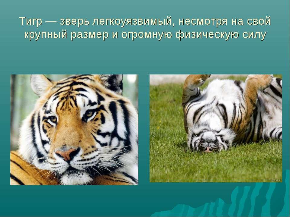 Тигр — зверь легкоуязвимый, несмотря на свой крупный размер и огромную физиче...