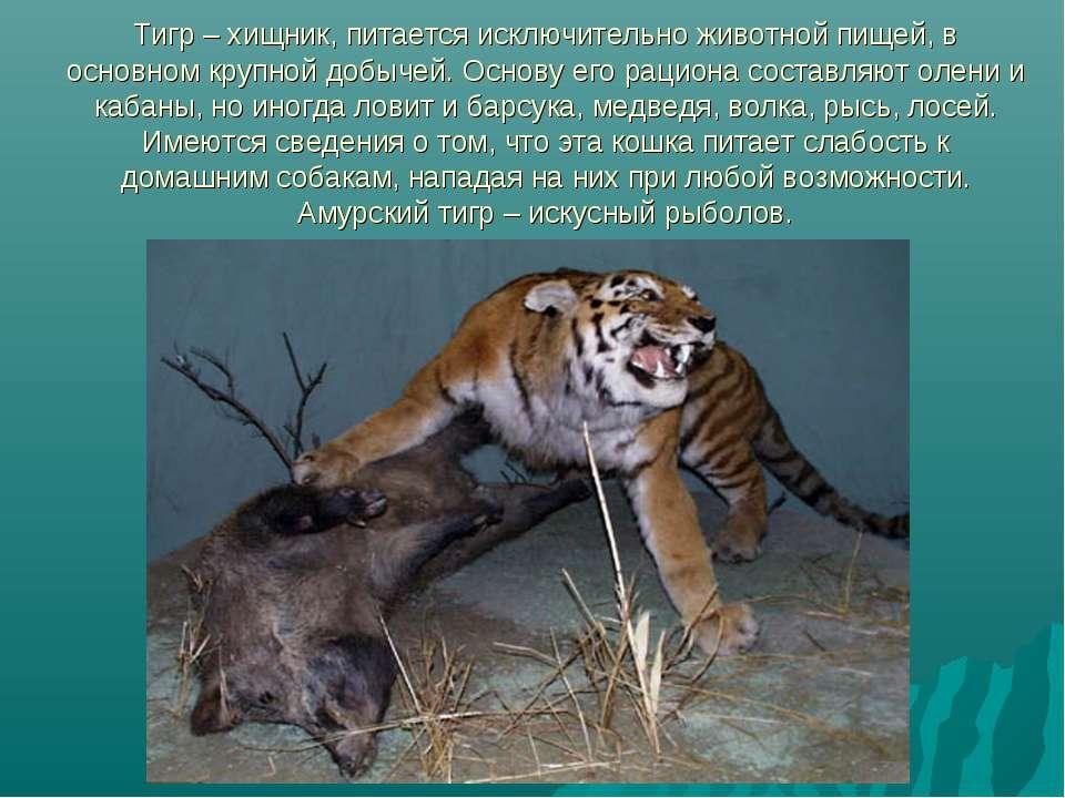 Тигр – хищник, питается исключительно животной пищей, в основном крупной добы...