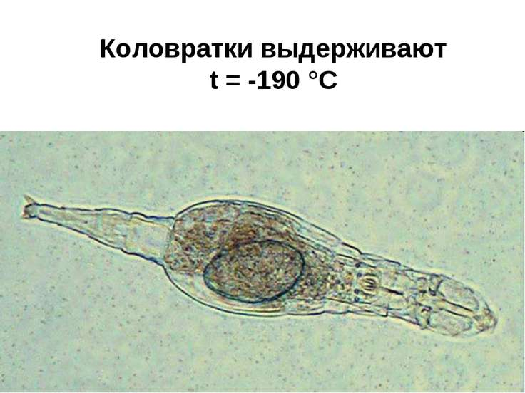 Коловратки выдерживают t = -190 °С