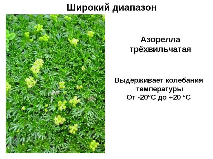 Широкий диапазон Азорелла трёхвильчатая Выдерживает колебания температуры От ...