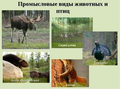 Промысловые виды животных и птиц Бобр европейский Белка Лось Серая утка Глухарь