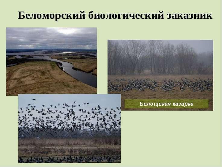 Беломорский биологический заказник Белощекая казарка