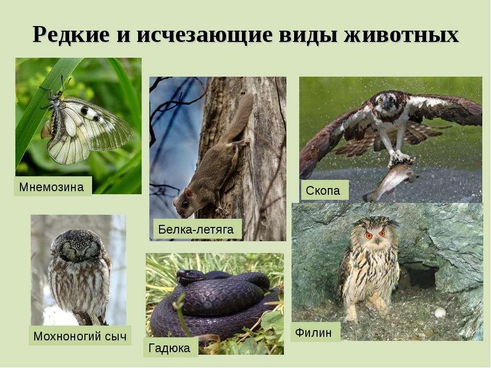 Редкие и исчезающие виды животных Мнемозина Белка-летяга Скопа Филин Гадюка М...