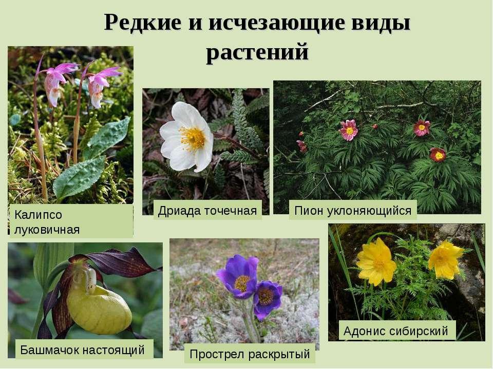 Редкие и исчезающие виды растений Калипсо луковичная Дриада точечная Пион укл...