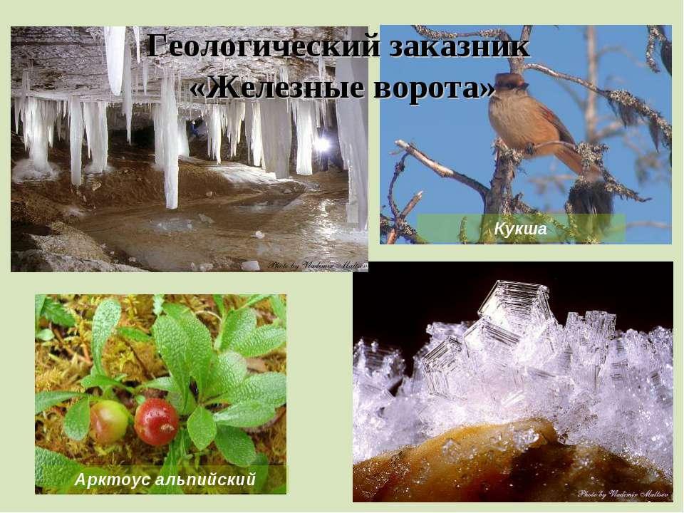 Геологический заказник «Железные ворота» Арктоус альпийский Кукша