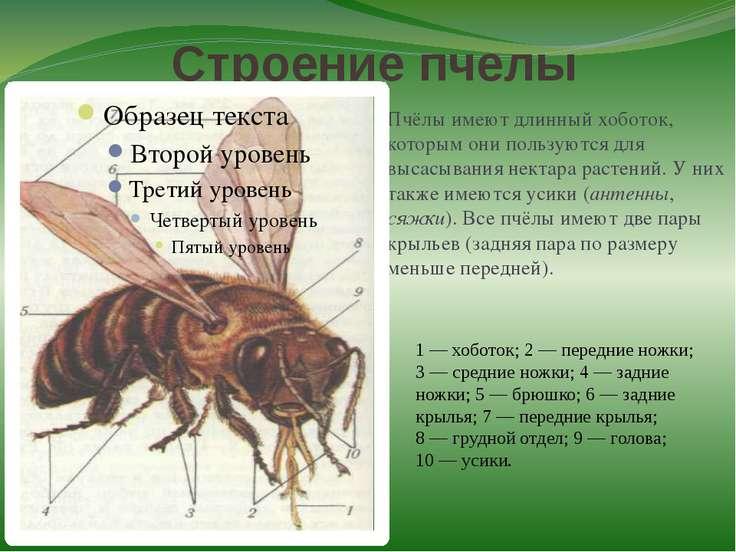 Строение пчелы Пчёлы имеют длинный хоботок, которым они пользуются для высасы...