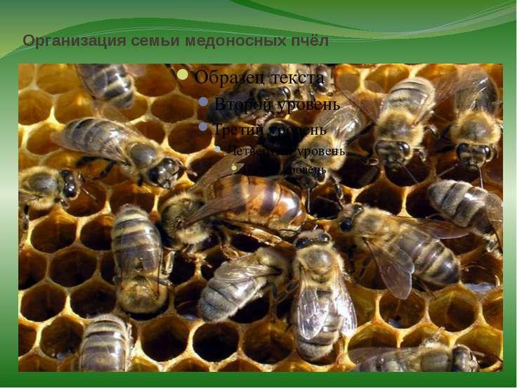 Организация семьи медоносных пчёл Пчёлы — высокоорганизованные насекомые. Они...