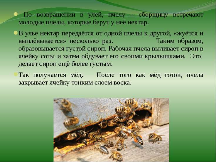 По возвращении в улей, пчелу – сборщицу встречают молодые пчёлы, которые беру...