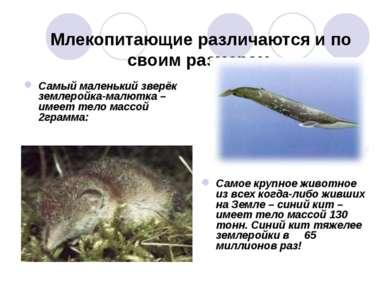 Млекопитающие различаются и по своим размерам. Самый маленький зверёк землеро...