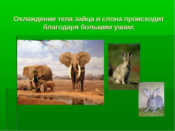 Охлаждение тела зайца и слона происходит благодаря большим ушам: