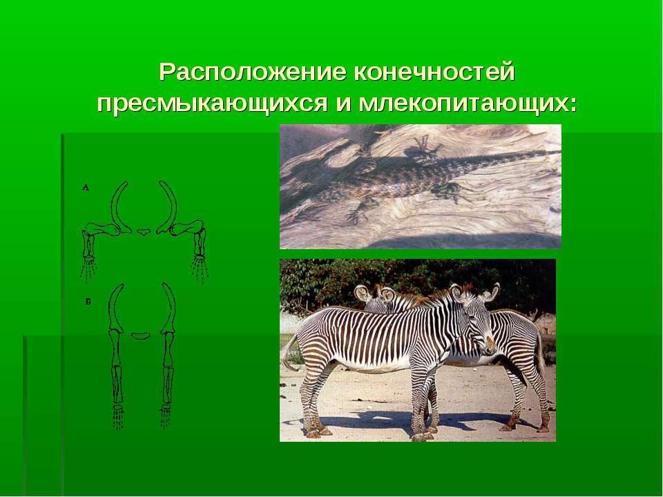 Расположение конечностей пресмыкающихся и млекопитающих: