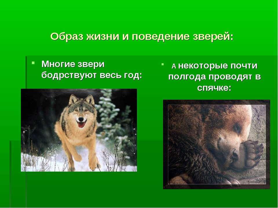 Образ жизни и поведение зверей: Многие звери бодрствуют весь год: А некоторые...