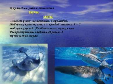 К хрящевым рыбам относятся акулы, скаты. . Скелет у них не костный, а хрящево...