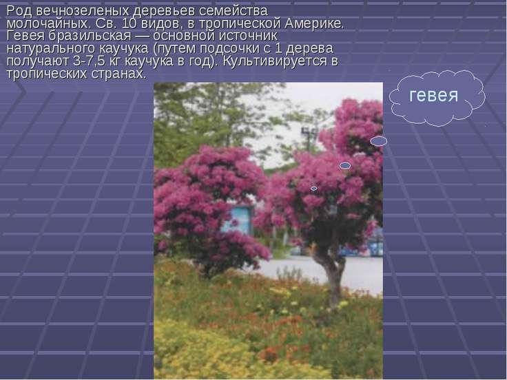 Род вечнозеленых деревьев семейства молочайных. Св. 10 видов, в тропической А...