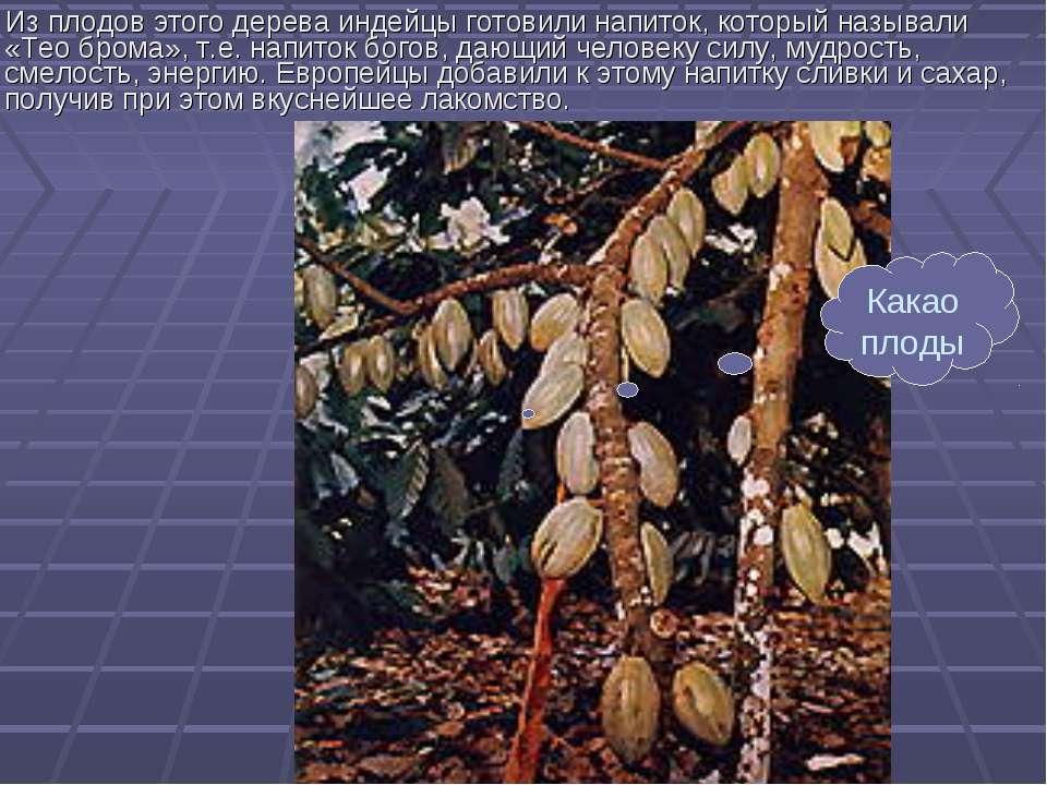 Из плодов этого дерева индейцы готовили напиток, который называли «Тео брома»...