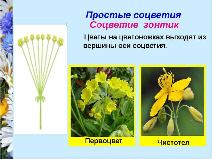 Простые соцветия Соцветие зонтик Цветы на цветоножках выходят из вершины оси ...