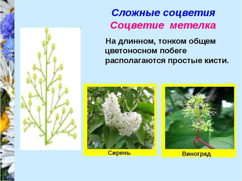 Сложные соцветия Соцветие метелка На длинном, тонком общем цветоносном побеге...