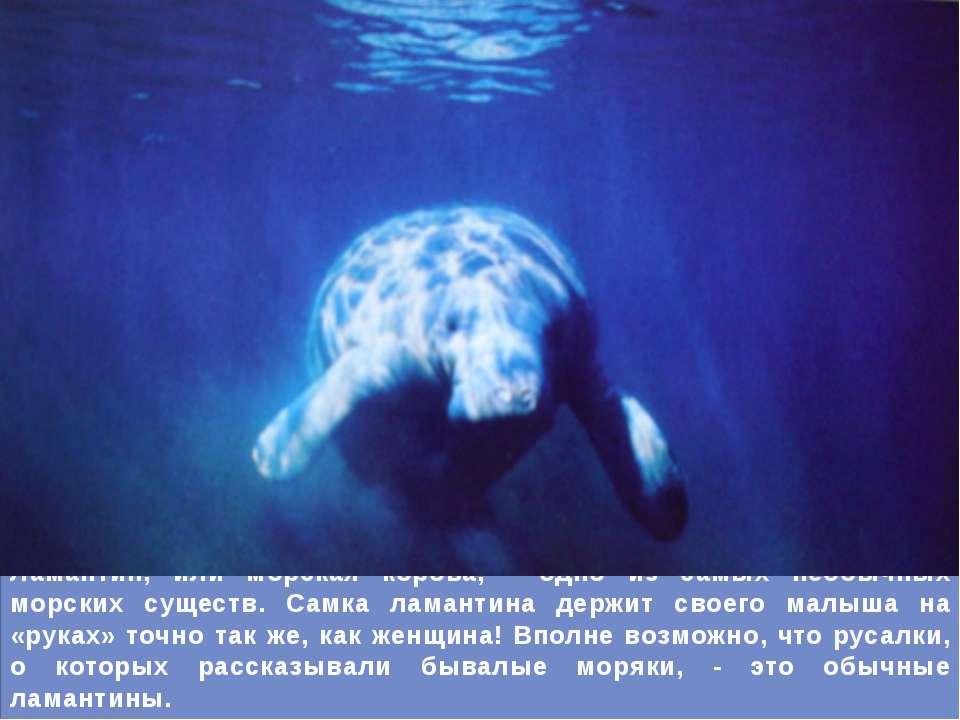 Ламантин, или морская корова, - одно из самых необычных морских существ. Самк...