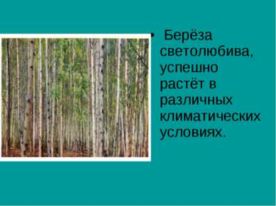 Берёза светолюбива, успешно растёт в различных климатических условиях.