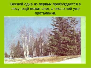 Весной одна из первых пробуждается в лесу, ещё лежит снег, а около неё уже пр...