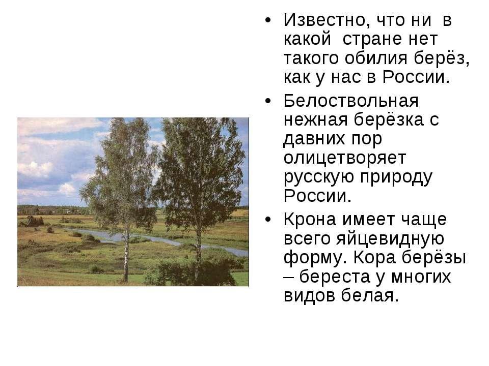 Известно, что ни в какой стране нет такого обилия берёз, как у нас в России. ...