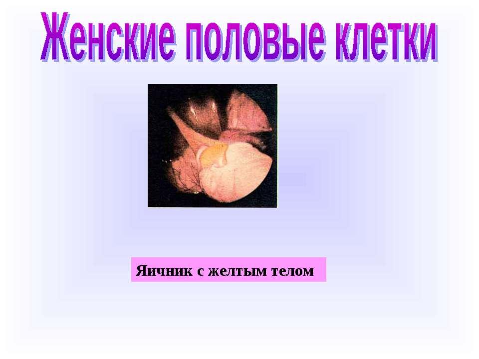 Яичник с желтым телом