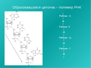 Образовавшаяся цепочка – полимер РНК Рибоза - А Ф Рибоза -У Ф Рибоза - Ц Ф Ри...