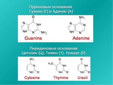 Пуриновые основания Гуанин (Г) и Аденин (А) Пиридиновые основания Цитозин (Ц)...