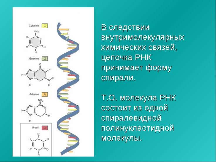 В следствии внутримолекулярных химических связей, цепочка РНК принимает форму...