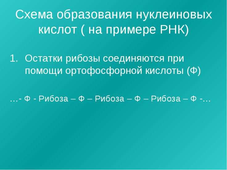 Схема образования нуклеиновых кислот ( на примере РНК) Остатки рибозы соединя...