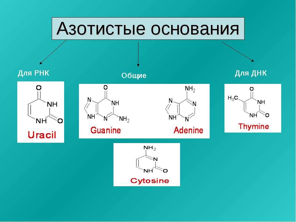 Азотистые основания Для ДНК Для РНК Общие