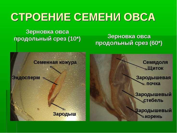 СТРОЕНИЕ СЕМЕНИ ОВСА Зерновка овса продольный срез (10*) Зерновка овса продол...
