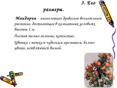 3. Его размеры. Мандарин - многолетнее древесное вечнозеленое растение, дости...