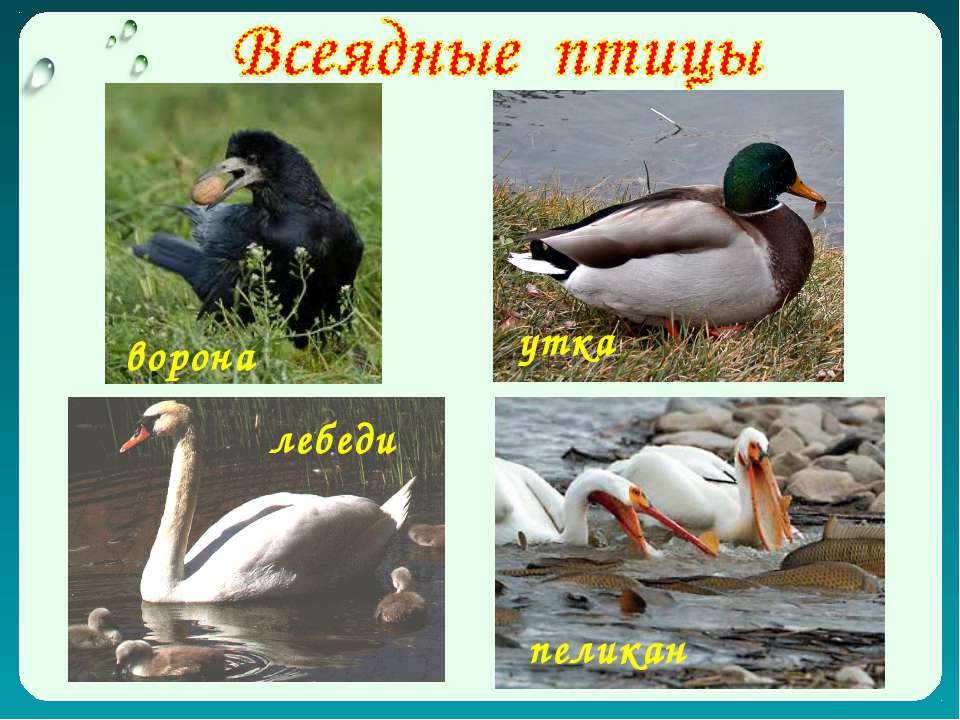 ворона утка пеликан лебеди
